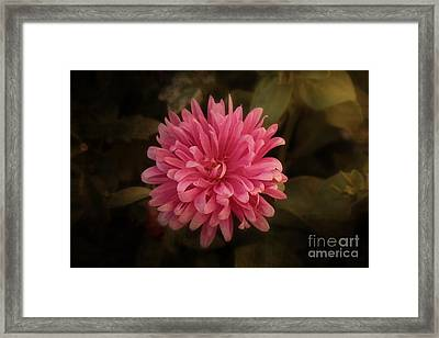 Framed Print featuring the photograph Pink Aster by Marjorie Imbeau