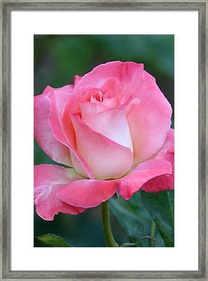 Pink Awakening Framed Print
