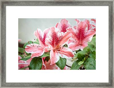 Framed Print featuring the photograph Pink Azaleas by Todd Blanchard