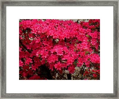 Pink Azaleas Framed Print by Virginia Forbes