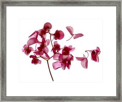 Pink Begonia I Framed Print