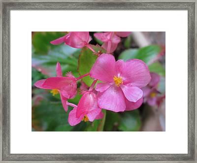 Pink Begonias Framed Print