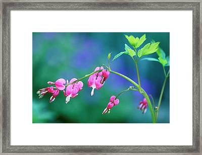 Pink Bleeding Hearts In Garden Framed Print by Jaynes Gallery