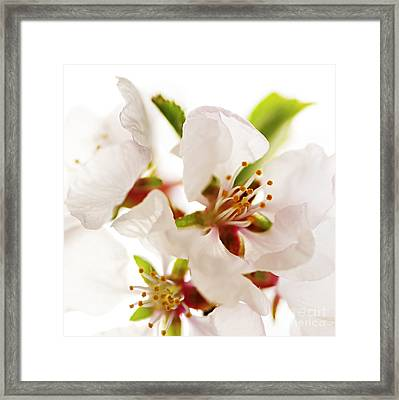 Pink Blossom Framed Print by Elena Elisseeva