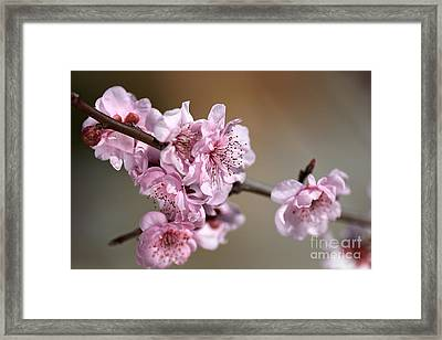 Pink Blossom Framed Print by Joy Watson