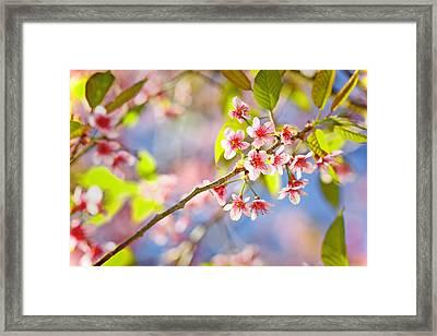 Pink Blossom Framed Print by Suradej Chuephanich