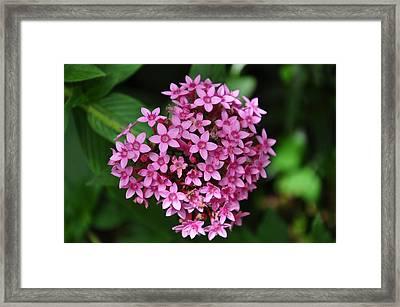 Pink Blossom Framed Print