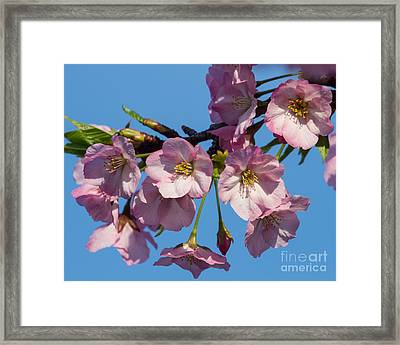 Pink Blossoms-3 Framed Print by Dale Nelson