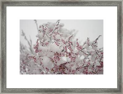 Pink Spring Blossoms In The Snow Framed Print by Suzanne Powers