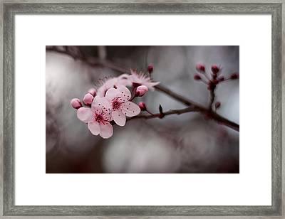Pink Blossoms Framed Print