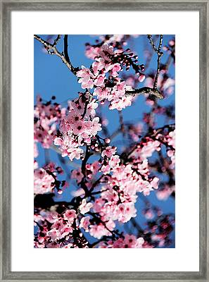 Pink Blossoms On The Tree Framed Print