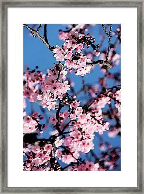 Pink Blossoms On The Tree Framed Print by Irina Sztukowski