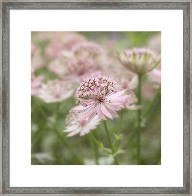 Pink Blush Framed Print by Kim Hojnacki