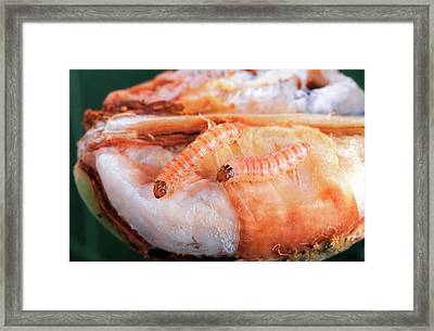 Pink Bollworms On Cotton Boll Framed Print