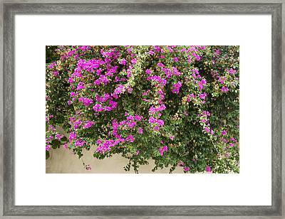 Pink Bougainvillea Growing On Wall Framed Print by Rosemary Calvert