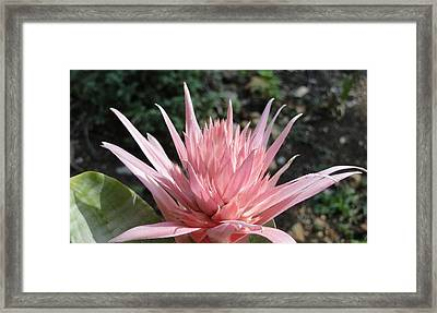 Pink Bromeliad  Bloom Framed Print by Cindy Croal
