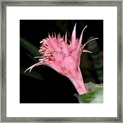 Pink Bromeliad Bloom - Close Up Framed Print