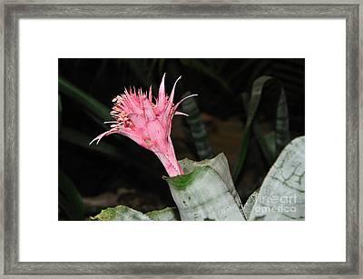 Pink Bromeliad Bloom Framed Print