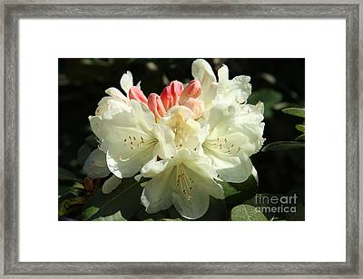 Pink Buds Framed Print by Christiane Schulze Art And Photography