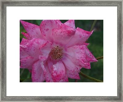 Pink Burst Framed Print by Jessica Cruz