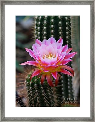Pink Cactus Flower Framed Print by Nancy Mueller