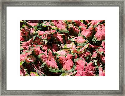 Pink Calladium Framed Print by Carol Groenen