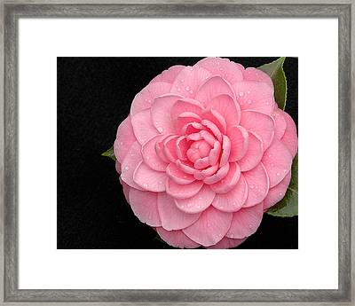 Pink Camellia After Rain Framed Print