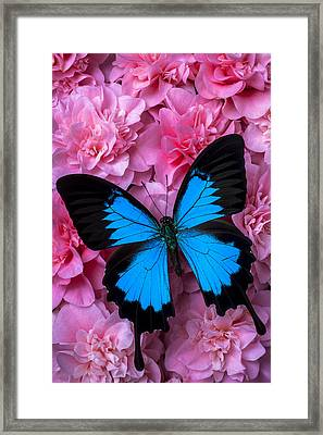 Pink Camilla And Blue Butterfly Framed Print by Garry Gay