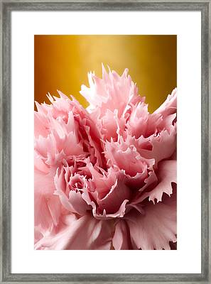 Pink Carnation Framed Print by Daniel Csoka