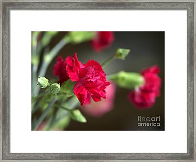 Pink Carnation Framed Print by Sharon Talson