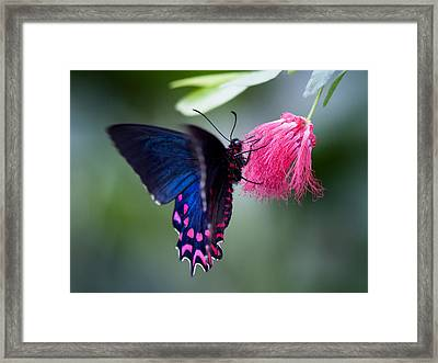 Framed Print featuring the photograph Pink Cattleheart Butterfly by Zoe Ferrie