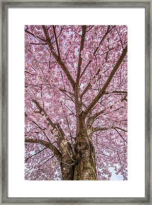 Pink Cherry Blossom Tree Framed Print by Pierre Leclerc Photography