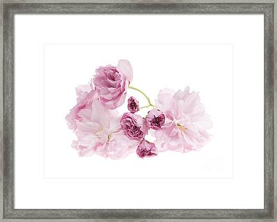 Pink Cherry Blossoms Framed Print by Elena Elisseeva