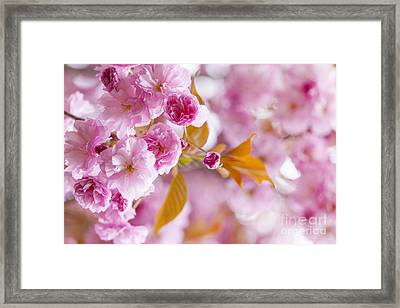 Pink Cherry Blossoms In Spring Orchard Framed Print by Elena Elisseeva