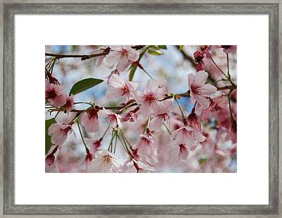 Pink Cherry Blossoms Framed Print by Jocelyn Friis