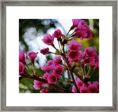 Pink Cherry Blossoms Framed Print by Pamela Walton
