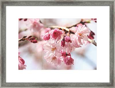 Pink Cherry Blossoms Framed Print by Trina  Ansel