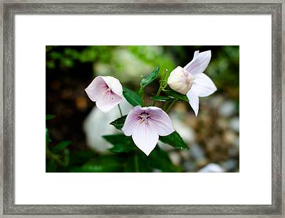 Pink Chinese Bellflower Framed Print by Frank Gaertner