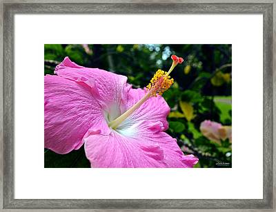 Framed Print featuring the photograph Pink Chinese Hibiscus Flower by Aloha Art
