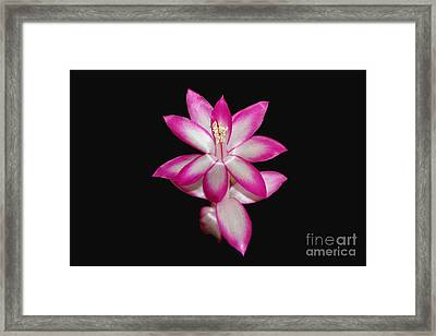 Pink Christmas Cactus On Black Framed Print