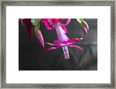 Pink Christmas Cactus Framed Print