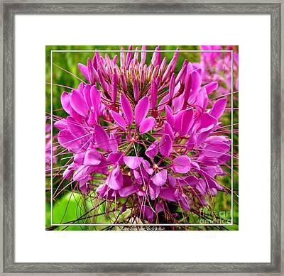 Pink Cleome Flower Framed Print by Rose Santuci-Sofranko
