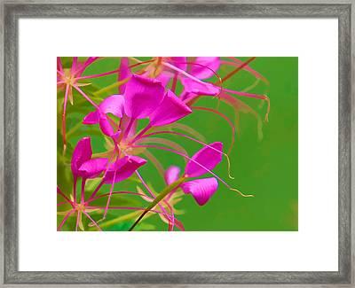 Pink Cleome Or Spider Flower  Framed Print by RM Vera