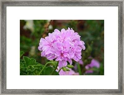 Framed Print featuring the photograph Pink Cluster by Lew Davis