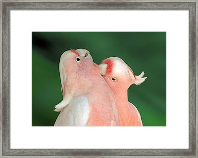 Pink Cockatoo Couple Framed Print