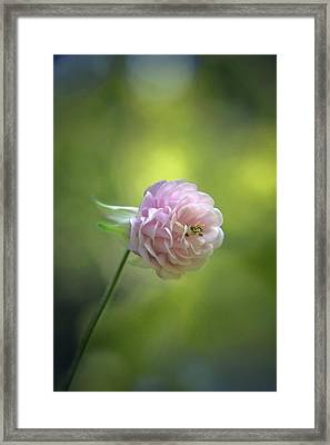 Pink Columbine Framed Print by  Andrea Lazar