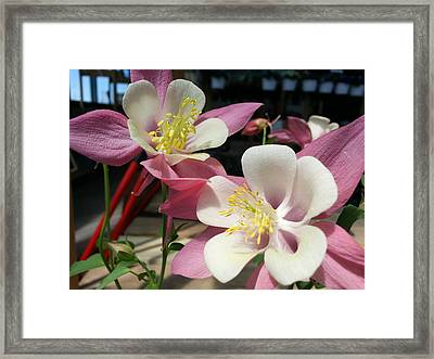 Framed Print featuring the photograph Pink Columbine by Caryl J Bohn