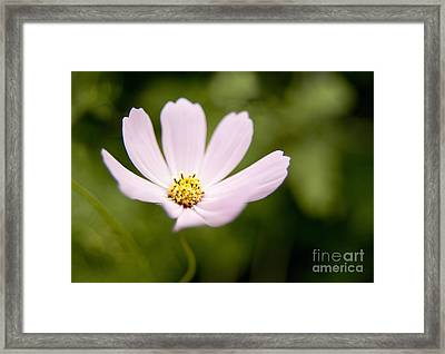 Pink Coreopsis Daisy Framed Print