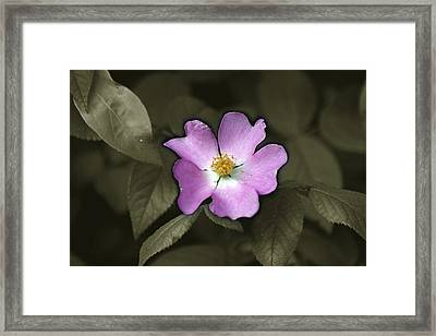 Prairie Rose Framed Print