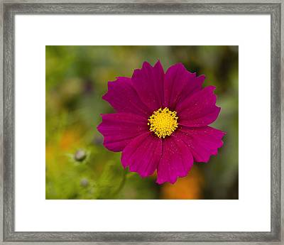 Pink Cosmos 3 Framed Print
